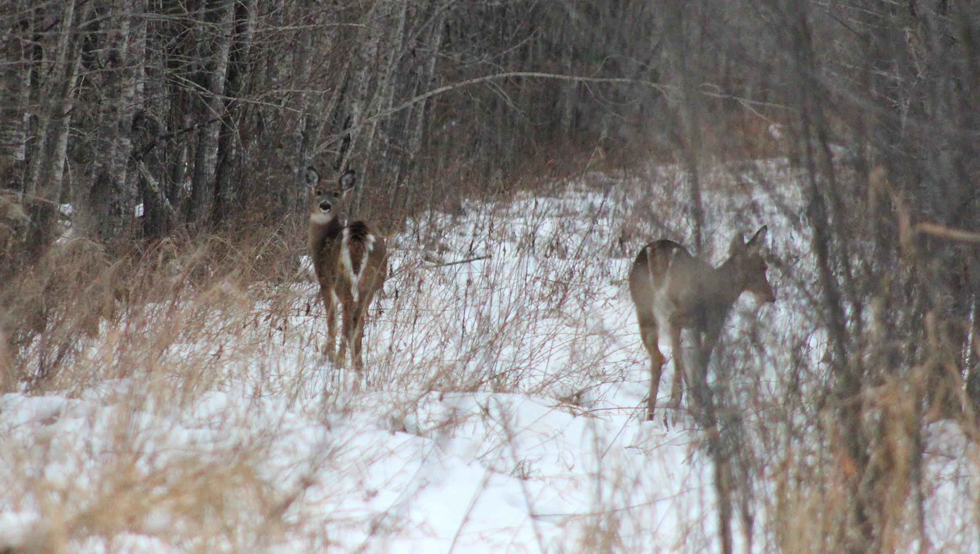 MN white tail deer in field.