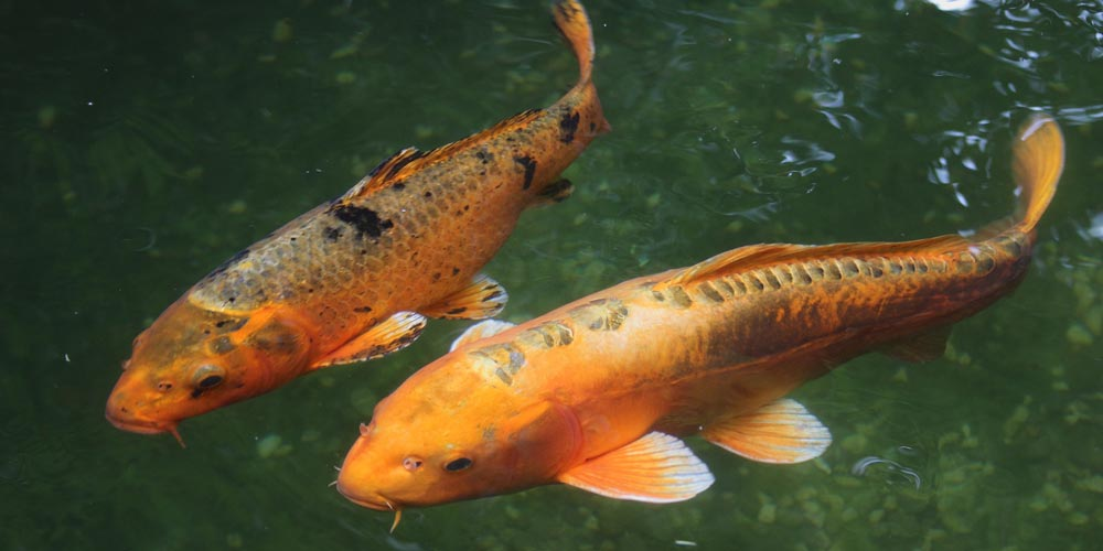 Two koi fish swimming