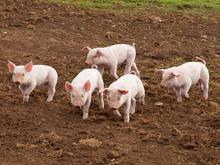 group of 5 small pigs running through dirt