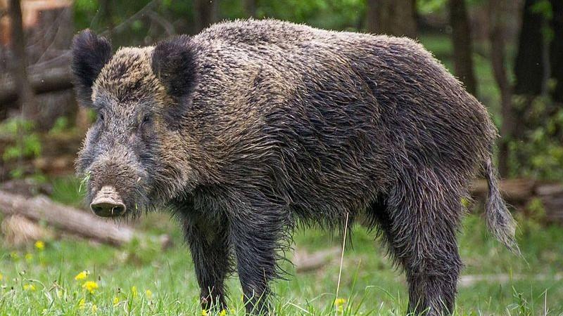 Large feral hog